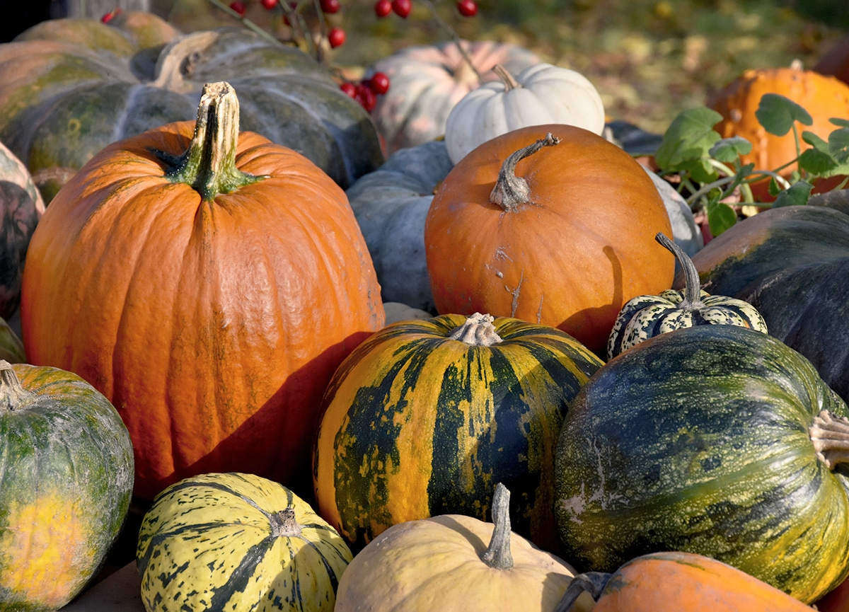 Immagini stock di decorazione di zucche colorate.  Zucche in giardino.  Bella decorazione autunnale con zucche.  Pila di zucche