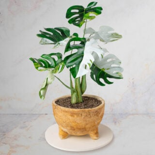 A cake sculpted to look like a real variegated Monstera plant